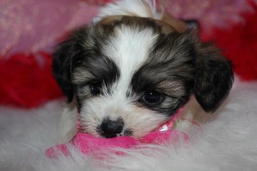 Heartfelt Teddy Bear Puppies Cute