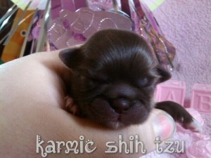 Karmic Shih Tzu Logo