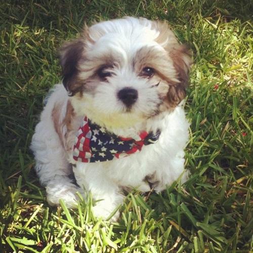 Shichon Express Teddy Bear Puppy