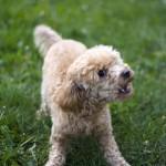 how to teach a dog not to bark